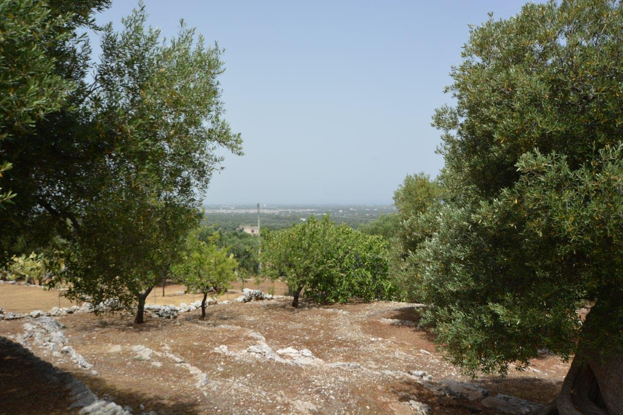 Panoramic land with ancient olive trees
